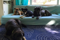 wholistic-pet-service-dog-boarding-3-mollie-et-al-on-the-sofa