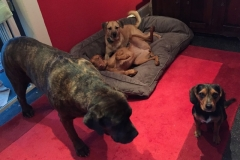 wholistic-pet-service-dog-boarding-all-the-girls-in-the-red-room
