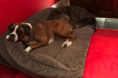 wholistic-pet-service-dog-boarding-boxer-babies