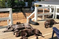 wholistic-pet-service-dog-boarding-sunbathing-on-the-deck