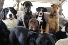 wholistic-pet-service-dog-hikes-1-the-executives-going-to-work