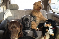 wholistic-pet-service-dog-hikes-2-stella-sitting-on-max-in-the-car