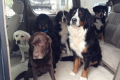 wholistic-pet-service-dog-hikes-3-in-the-car-with-the-bernese
