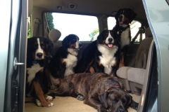wholistic-pet-service-dog-hikes-bernese-party-in-the-car