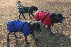 wholistic-pet-service-dog-hikes-mastiffs-with-winter-coats-2