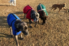 wholistic-pet-service-dog-hikes-mastiffs-with-winter-coats