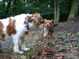 client-misha-king-charles-spaniel-with-client-rocky-chihuahua-yorkie-mix