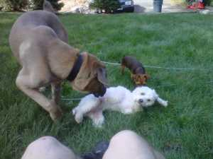size-does-not-matter-here-cane-corso-mastiff-rufus-plays-with-maltese-dune-and-chorkie-rocky