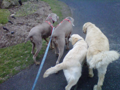 WPS_0011_WPS-dogwalking01